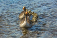 geese-1406725_1920