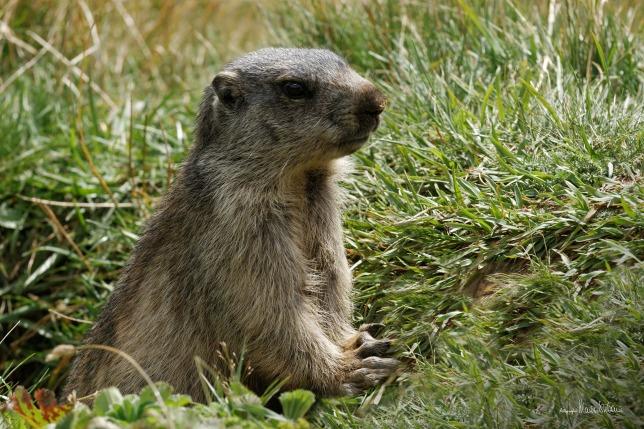 marmots-1755124_1920